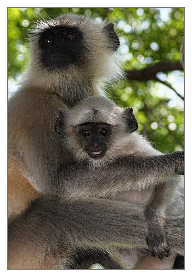 langurs, wildlofe, flickr.jpg
